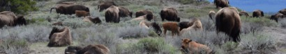 Endangered Bison Endangered Migration — Buffalo Field Campaign