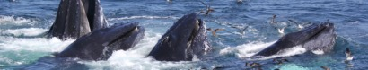 Email your senators about right whales! — Whale and Dolphin Conservation
