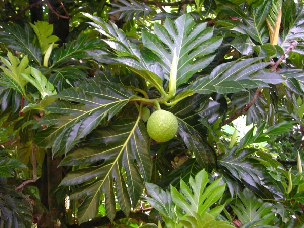National Tropical Botanical Garden – Breadfruit Institute