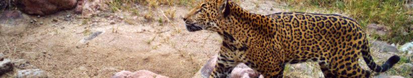 Northern Jaguar Project