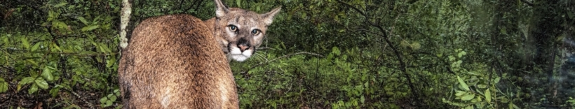 Living with Lions, a project of Audubon Canyon Ranch