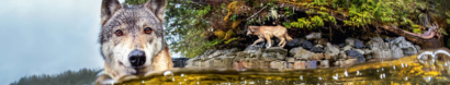 Save British Columbia's Persecuted Wolves — Pacific Wild