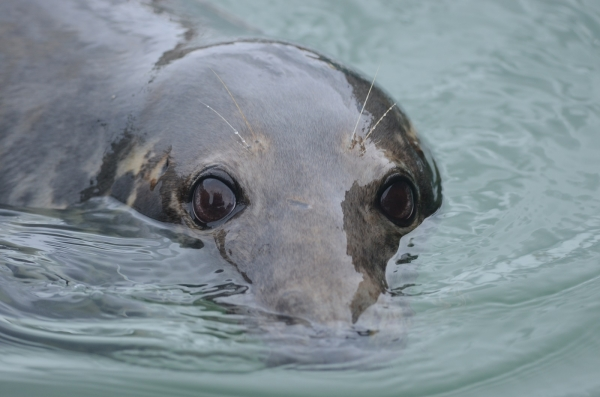 Cornwall Seal Group Research Trust (CSGRT)