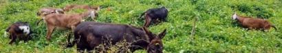 Allegheny GoatScape Inc.