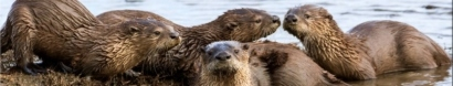 River Otters on the Rise! — The River Otter Ecology Project