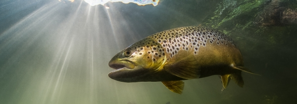 Salmon & Trout Conservation