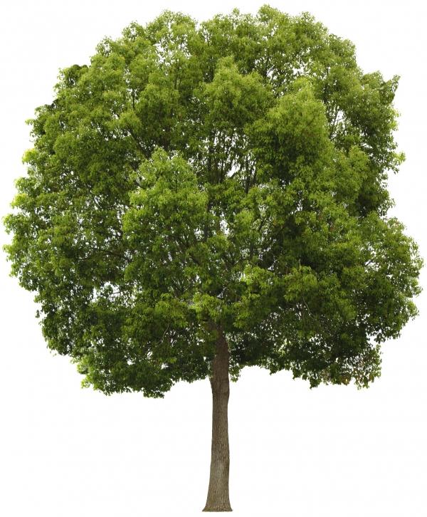 Tree San Diego