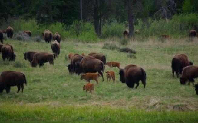 Buffalo Get a Break