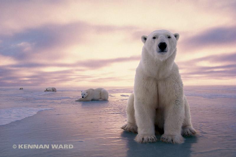 Polar_bear_line_up