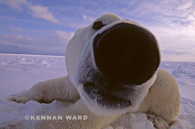Polar_bear_nose