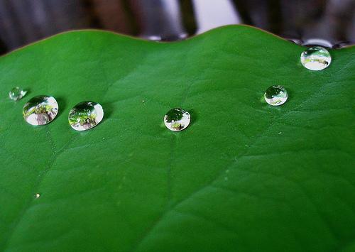 Lotus_leaf_tanakawho