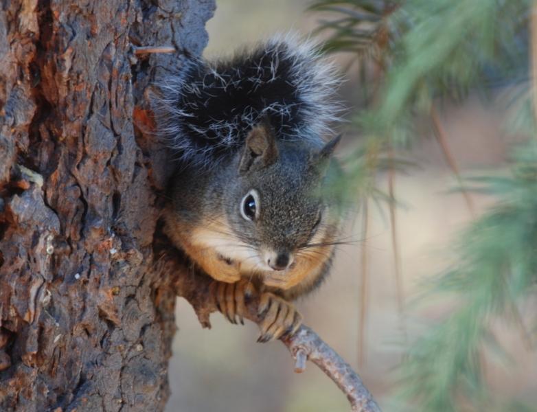 Squirrel2 8338