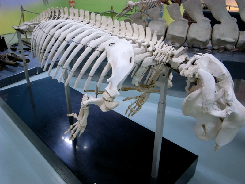 The skeleton bones of a dugong at Nago Museum in Okinawa