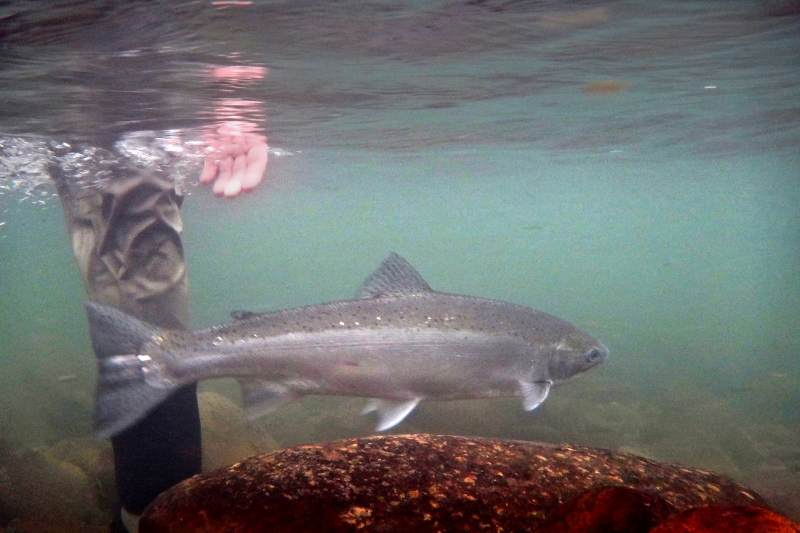 Steelhead_Justin Crump_photo_2