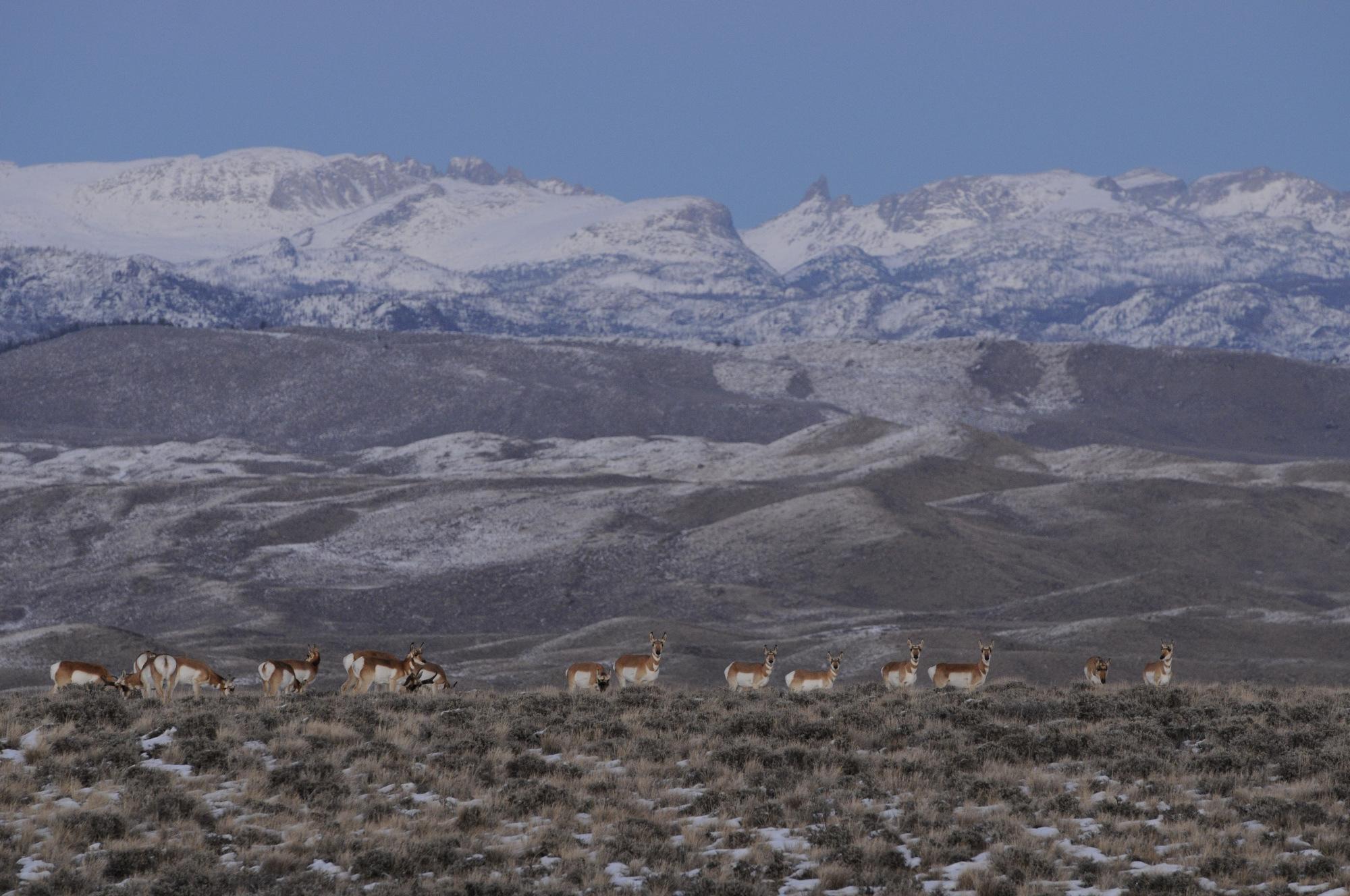 Pronghorn in winter range