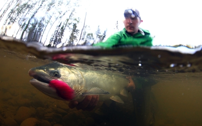 Sam Weis displays the beauty of the Chuitna's silver salmon. Photo: Dave McCoy