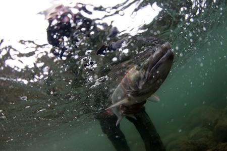 How Puget Sound Wild Steelhead Gene Banks Give Salmon a Fighting Chance