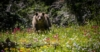 Taking Bearings on Yellowstone Grizzly Bear Delisting