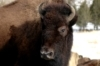 Yellowstone Buffalo Headed to the Slaughterhouse