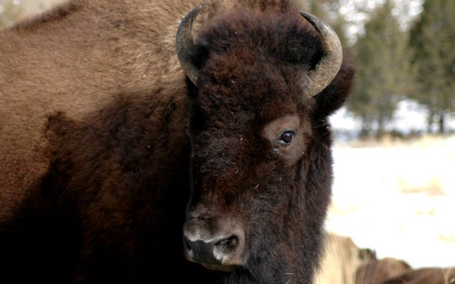 Montana Officials Lied about Buffalo – Take Action…Again