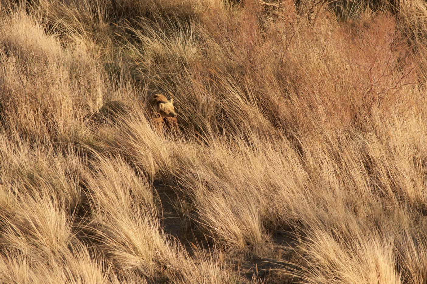 Big Bawa among the Phragmites grasses at the oasis where he was radio-collared. Photo: Joe Riis