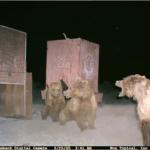 Photo courtesy of Gobi Bear Project