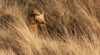 Tracking Gobi Grizzlies