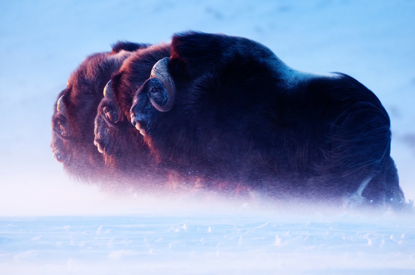 Three muskox bulls push through a blizzard towards the setting sun. While I just about froze to death, it was just another day in the Arctic for these animals. Their fur is seven times warmer than the warmest known sheep wool. Photo: Florian Schulz