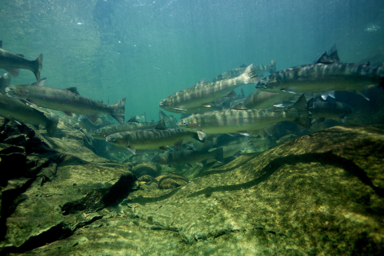 No hatchery needed. Wild steelhead return to the North Fork Umpqua River, Oregon. DamNation collection. Photo: Matt Stoecker