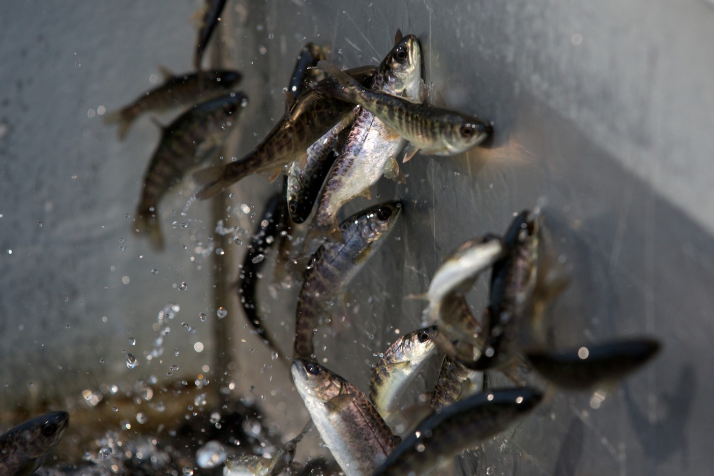 Hatchery salmon smash their heads against the concrete and steel walls of rearing tanks at the Sawtooth Hatchery, Idaho. DamNation collection. Photo: Matt Stoecker