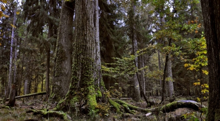 Poland's Bialowieza Forest is one of the last old-growth forests in Europe. Photo: Janusz Korbel
