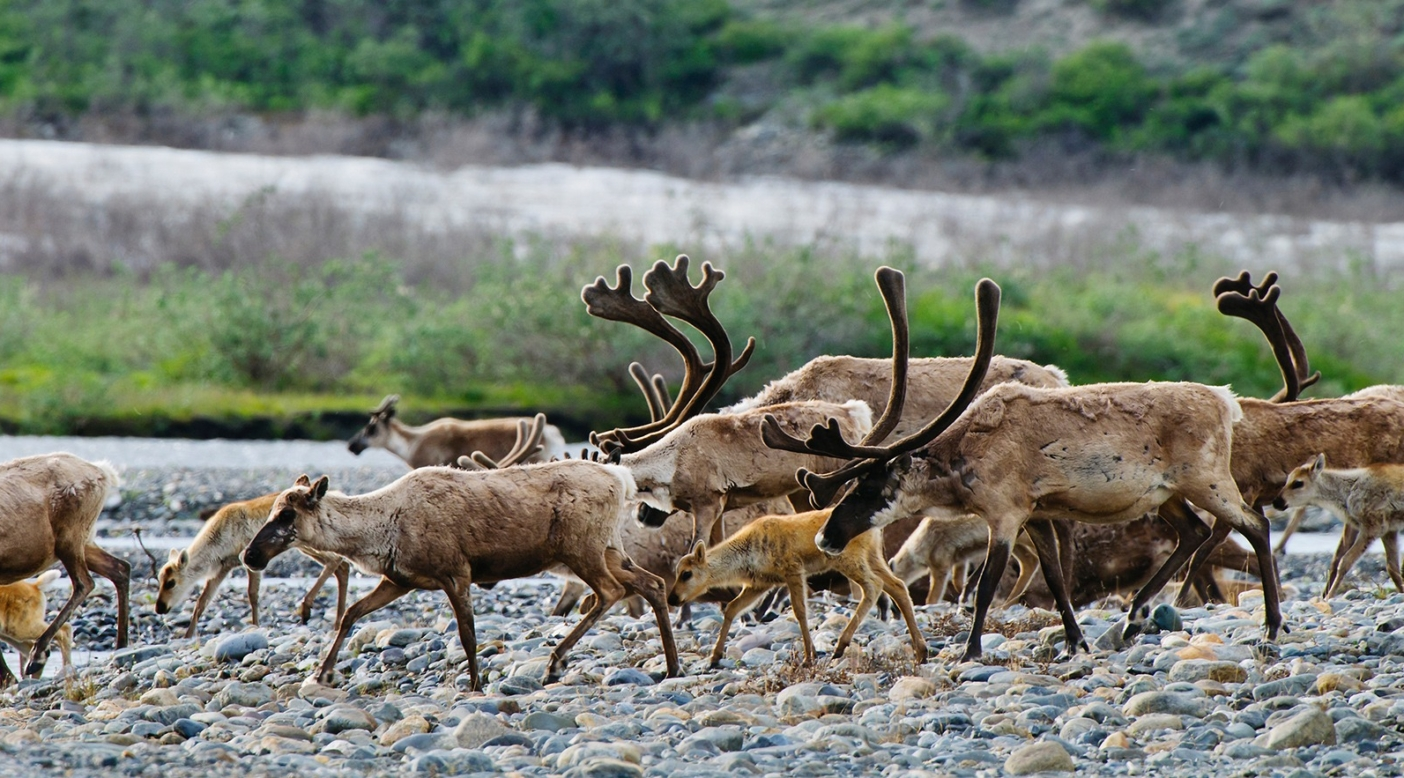 Members of the Porcupine caribou herd crossing the Hulahula River in the Arctic Refuge. Caribou travel in groups and migrate at different times: Pregnant females, some yearlings and barren cows are the first to travel north toward the coastal plain, followed by males and the rest of the juveniles. Photo: Florian Schulz