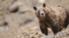 Wyoming's Extreme Grizzly Bear Trophy Hunting Proposal Threatens Recovery
