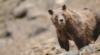 La extrema propuesta de caza de osos grizzly como trofeo en Wyoming atenta contra su recuperación
