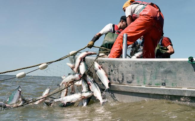Members of the Smith family haul a net nicely loaded with sockeye, Kvichak River, Bristol Bay, Alaska. Photo: Corey Arnold