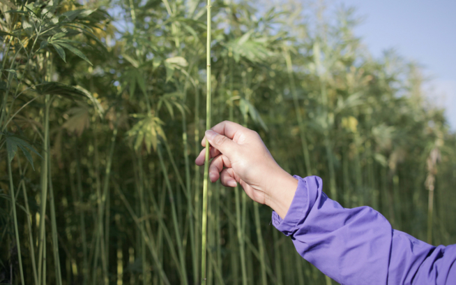 Growing hemp is easy. This fibrous plant needs no pesticides or irrigation and requires low quantities of fertilizer. But turning hemp into fabric is a complicated task that requires an expertise American farmers will need to regain. Photo: Lloyd Belcher