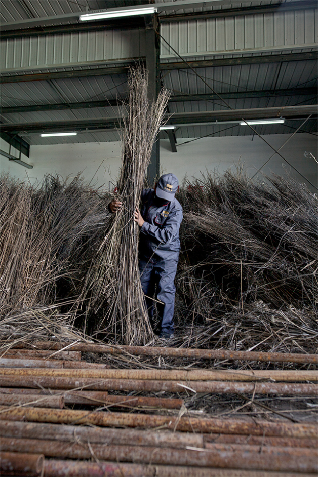 Dried and bundled, the stalks are cut and stripped of their outer shell—a process known as decortication. Photo: Lloyd Belcher
