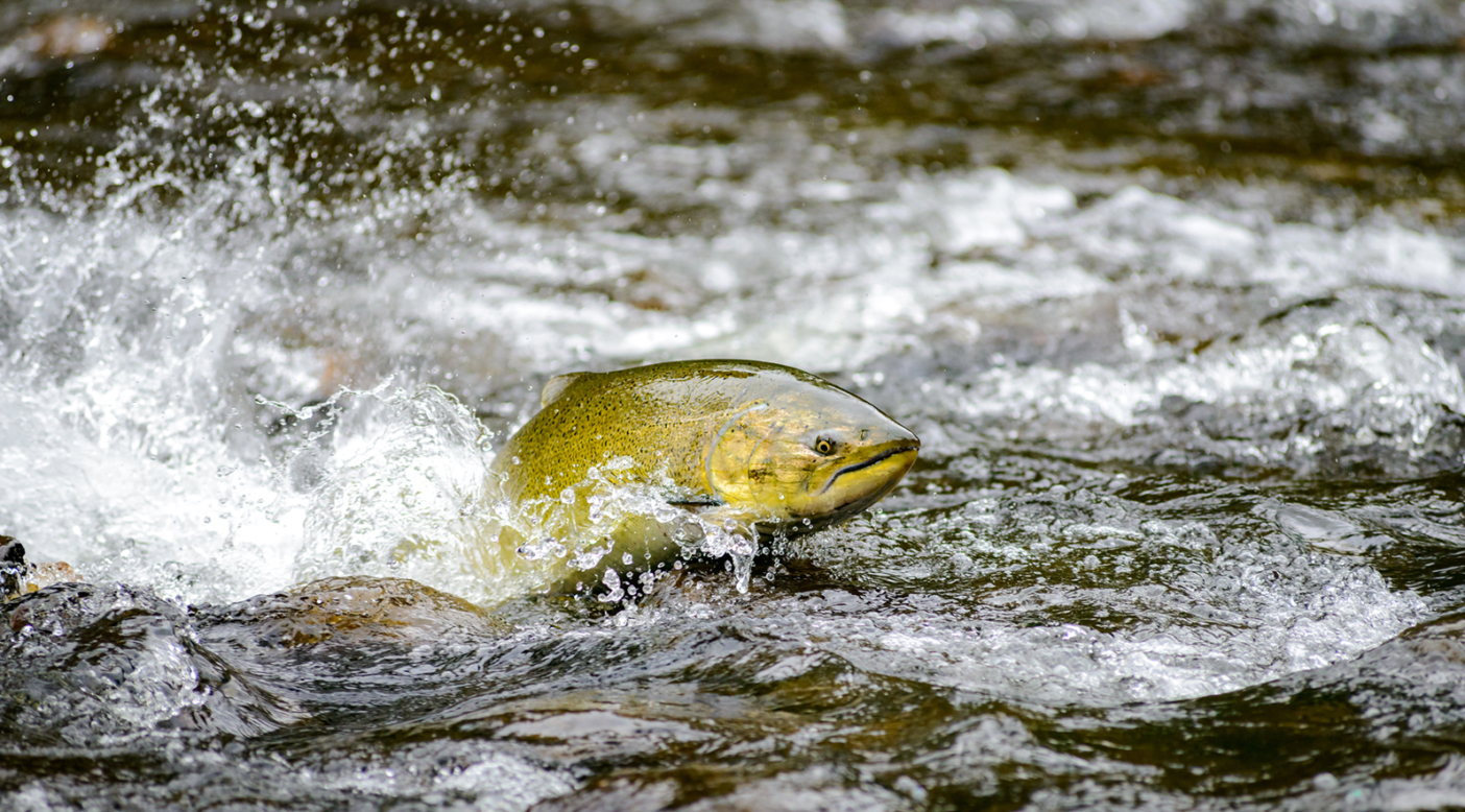 A wild female Chinook salmon surges upstream toward the spawning grounds. Vancouver Island, British Columbia. Photo: Eiko Jones