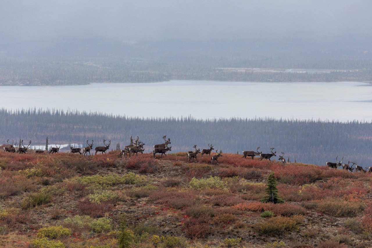 """Known as """"people of the land,"""" the Gwich'in have depended on the Porcupine Caribou Herd for their subsistence way of life for over 20,000 years. The herd is essential to the tribe's way of life, providing them with food, medicine, clothing, shelter and tools. Photo: Keri Oberly"""