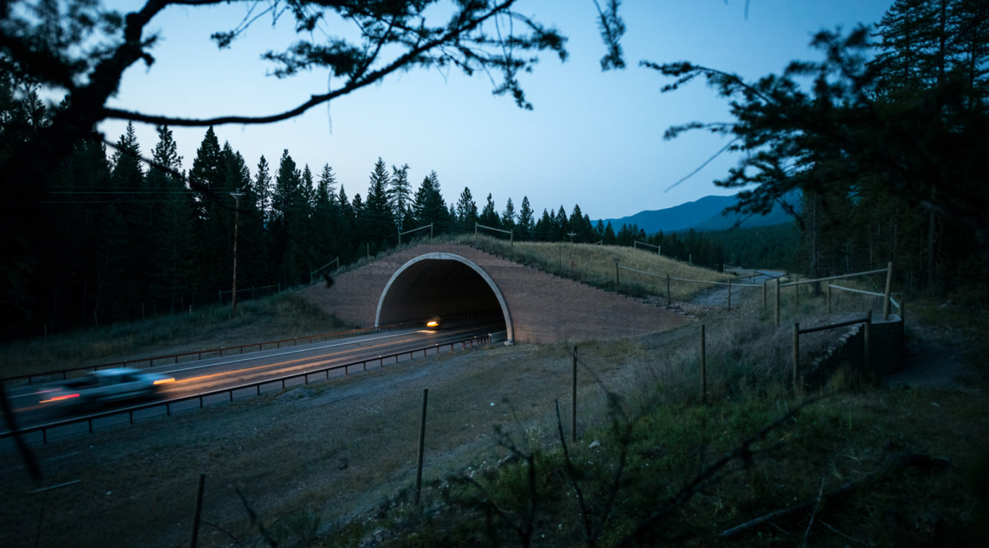 The first wildlife overpass put in on the People's Way Partnership project along Highway 93 in Montana. The Confederated Salish and Kootenai Tribes declared that the highway was a visitor on the landscape and any future improvements needed to consider the need of wildlife first. In this spirit, the tribes worked closely with the Montana Department of Transportation and created the densest collection of wildlife crossing structures in North America. Bears, deer, elk, bobcats and others are already using the structures. Photo: Steven Gnam