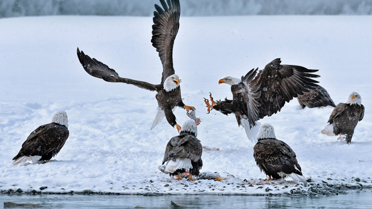 The Chilkat Bald Eagle Preserve downstream from Klukwan attracts the largest seasonal bald eagle population in the world. Photo: Brian Rivera Uncapher