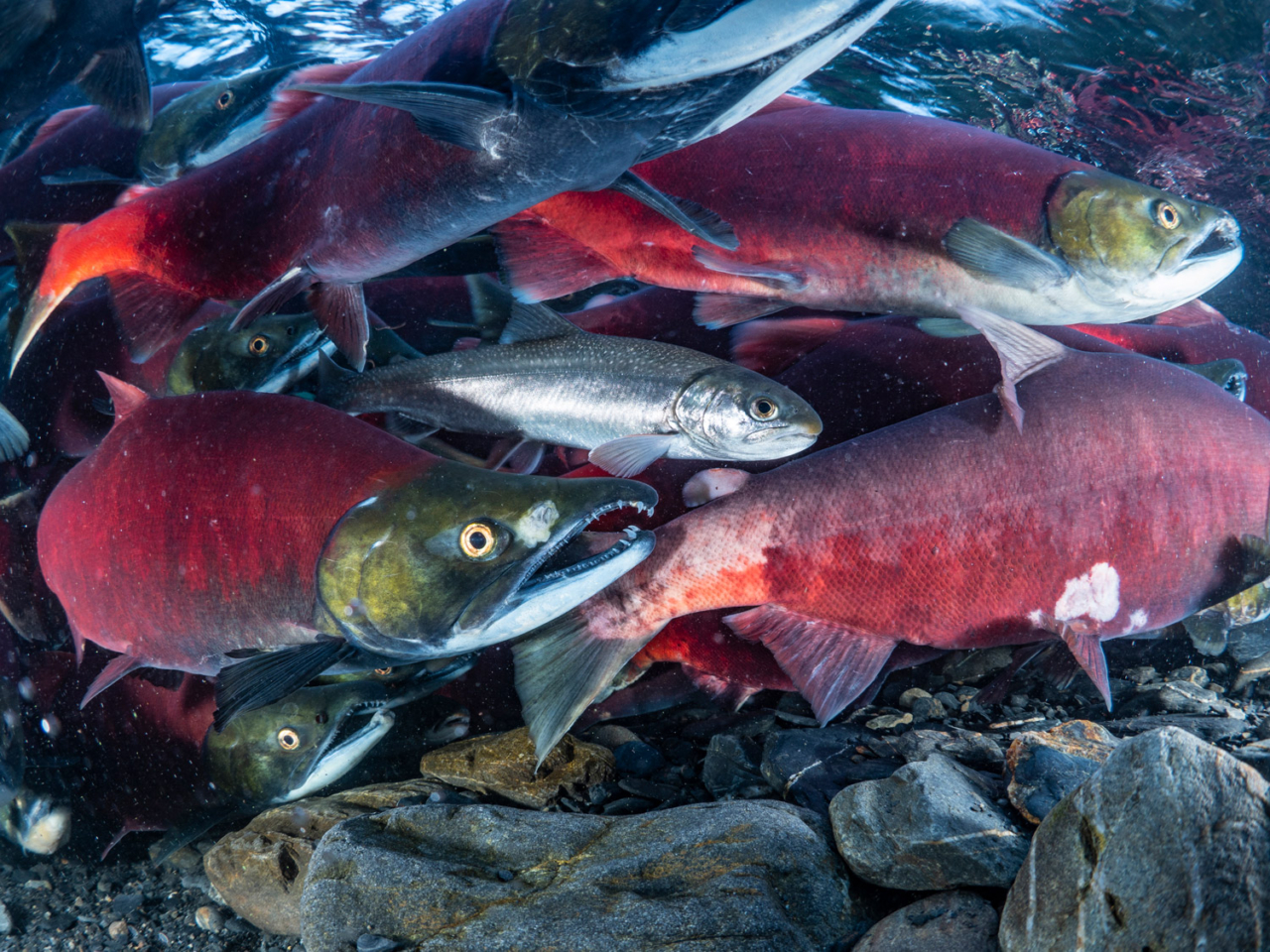 The unique hydrology of the Chilkat River allows warmer water to percolate up from the gravel below to help keep the river ice-free which allows for late season runs of sockeye salmon. photo: Connor Gallagher