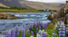 Iceland, Open-Net Fish Farms, and the Final Frontier for Wild Atlantic Salmon
