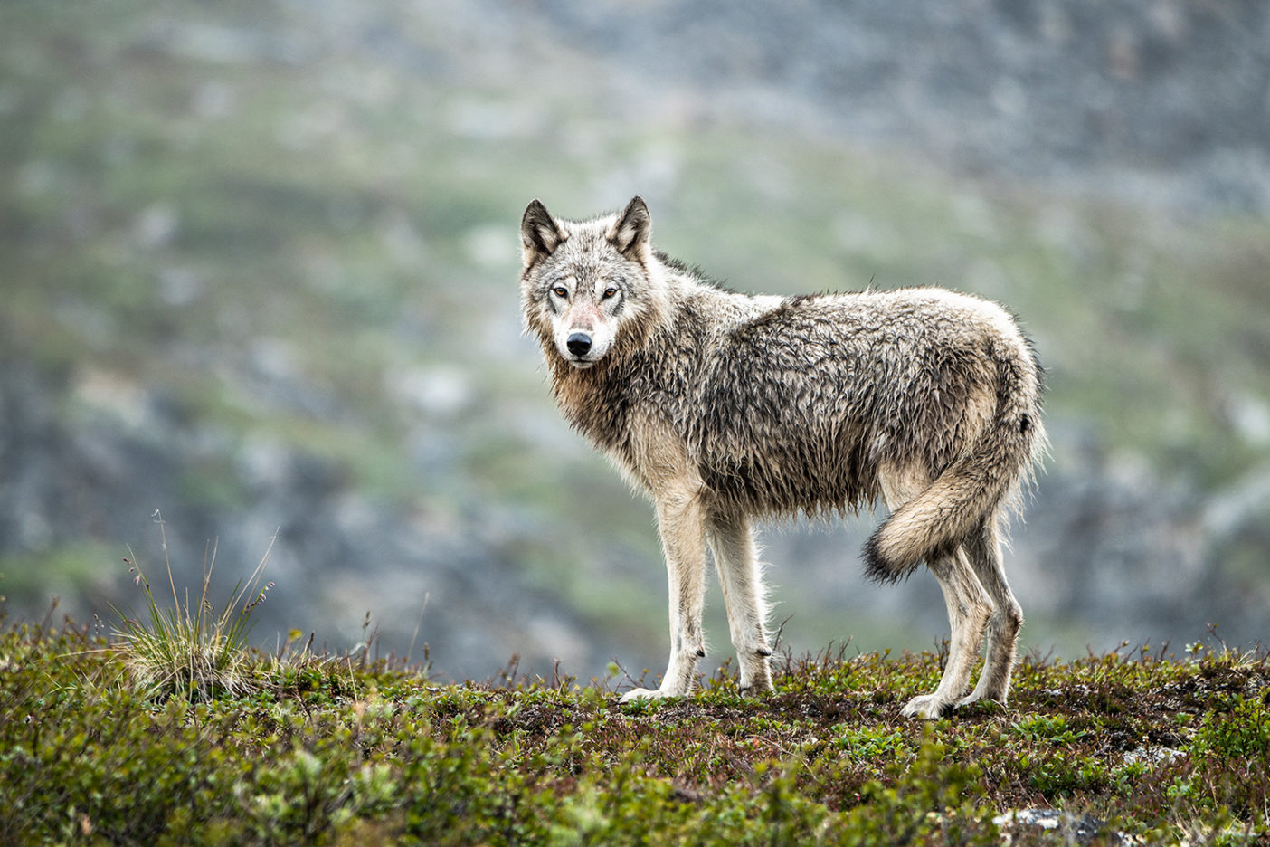 The Arctic Refuge is home to gray wolves, including this one seen in the Jago River valley, Alaska. Photo: Austin Siadak