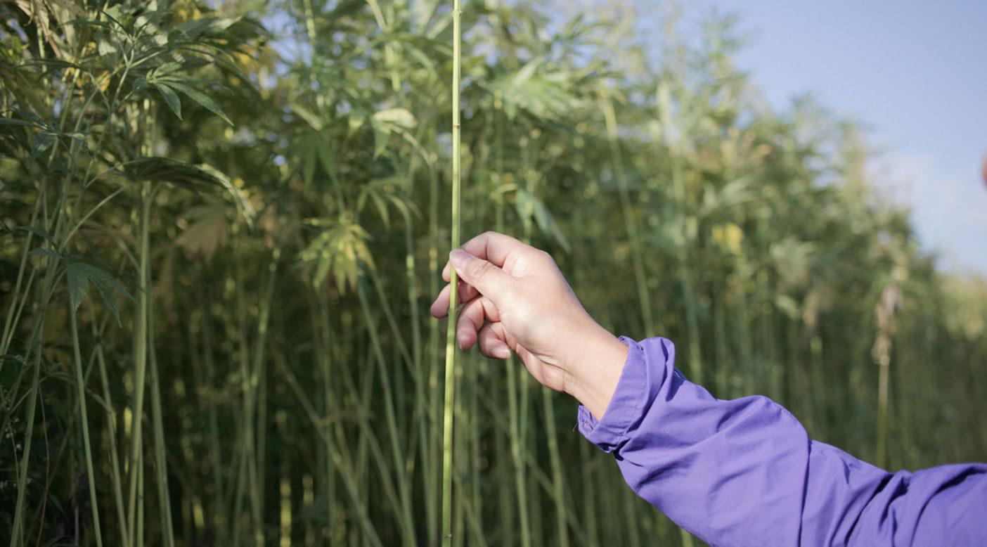 Cultivar cáñamo es fácil. Esta fibrosa planta no necesita pesticidas o irrigación y requiere menos cantidades de fertilizantes. Pero convertir el cáñamo en tela es una tarea complicada, que requiere una expertís que los agricultores americanos necesitarán recuperar. Foto: Lloyd Belcher