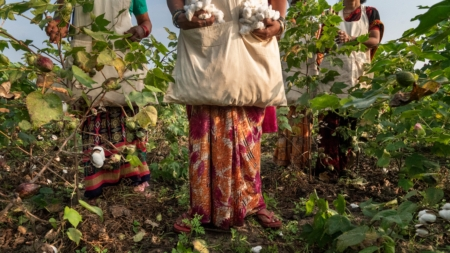 The Great Cotton Experiment