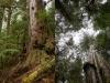 The Ancient Tree Hunter